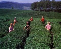 Чайная плантация в провинции Пуэр