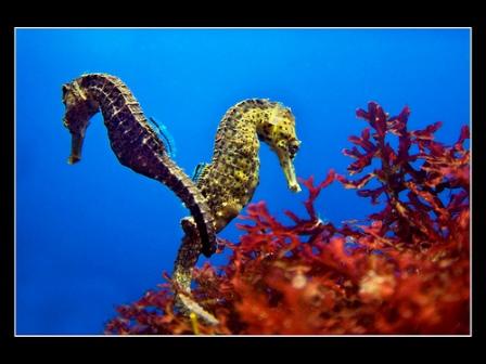 Морские коньки чем удивительны