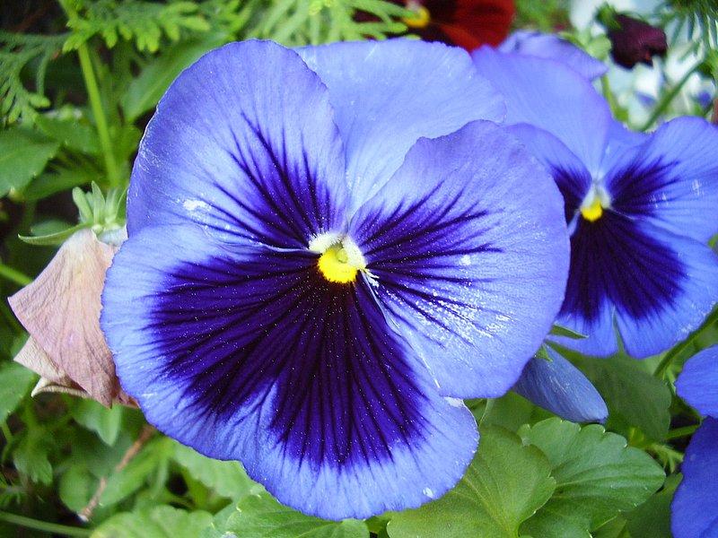 Любимый цветок И. С. Тургенева и Жозефины Богарне, фиалка, считалась у греков цветком печали и смерти...