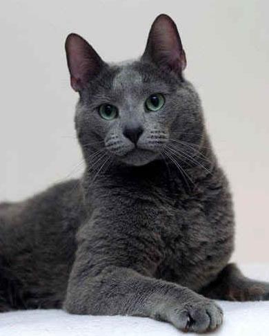 Происхождение.  Родина породы русская голубая кошка - Россия.