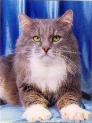 Сибирская кошка фото 1.