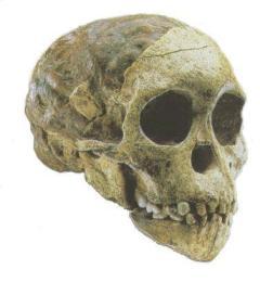 сохранившийся череп австралопитека
