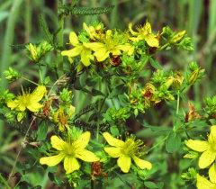 Помогает ли трава зверобой от нечистой силы и девяноста девяти хворей?