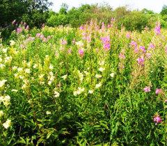 Как приготовить из летних даров природы полезный и ароматный чай Берендея?