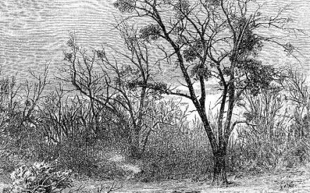 Кусты омелы на старом осокоре (графика ХIХ века)