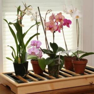 Орхидеи на поддоне