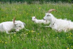 Как покупать козу?