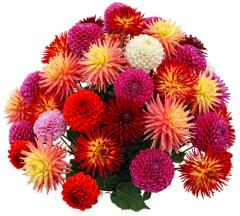 Георгин: почему мы так называем цветок?
