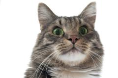 Ответы к тесту «Кис-кис, мяу... Всё ли вы знаете о кошках?»
