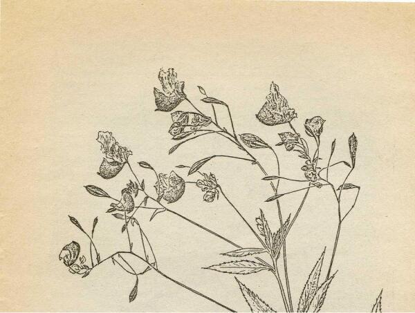 Цветки недотроги Ройля
