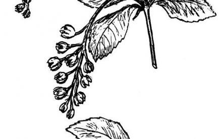 Веточки с плодами и цветками барбариса (рис. А. Рябоконь)