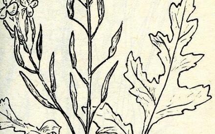 Верхняя часть растения (рисунок: А. Рябоконь)
