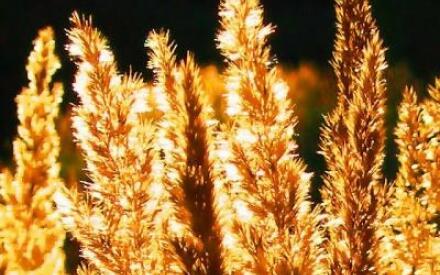 Золотые травинки
