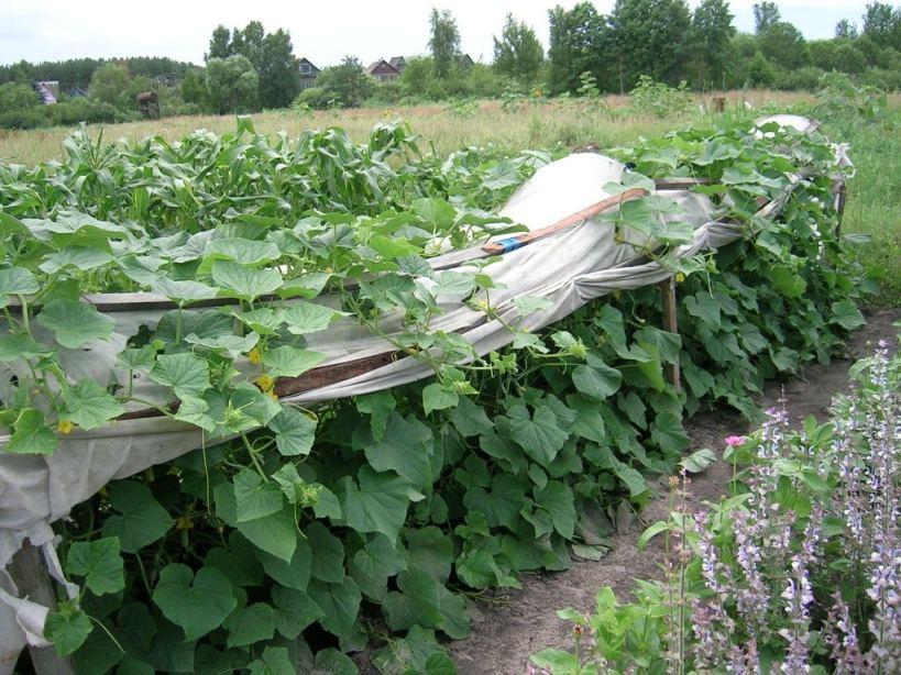 На расстоянии нескольких метров от грядки с огурцами для защиты от ветра неплохо посадить несколько рядов кукурузы...