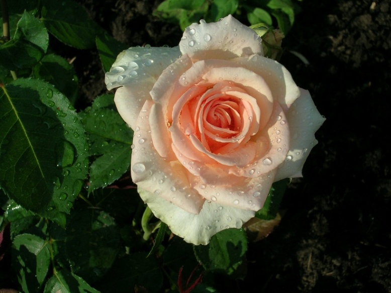 Какие цветы посадить на даче розы