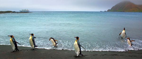 Все многообразие видов пингвинов на планете представлено в Антарктиде