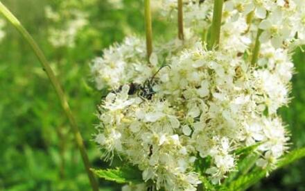Цветущий лабазник