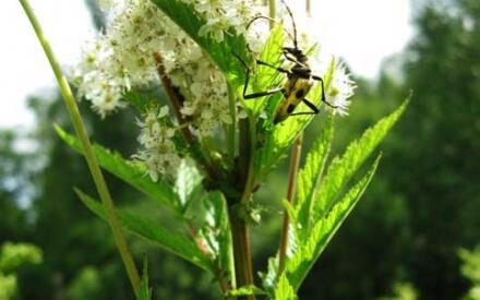Цветки лабазника привлекают многих насекомых