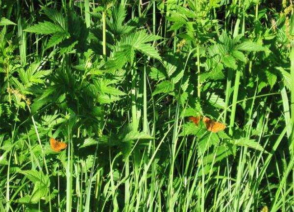 Бабочки на листьях лабазника