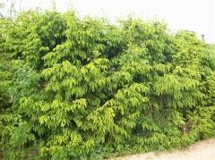 Ель - ограда, привлекательная в любое время года