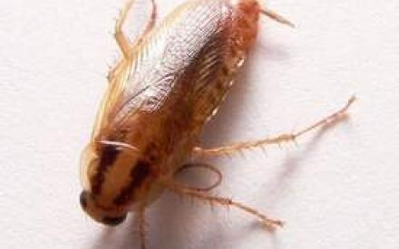 Рыжий таракан, он же прусак
