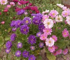 Астра - главный цветок сентября