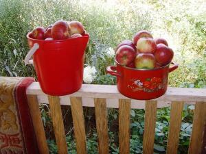 Яблоки! Много!