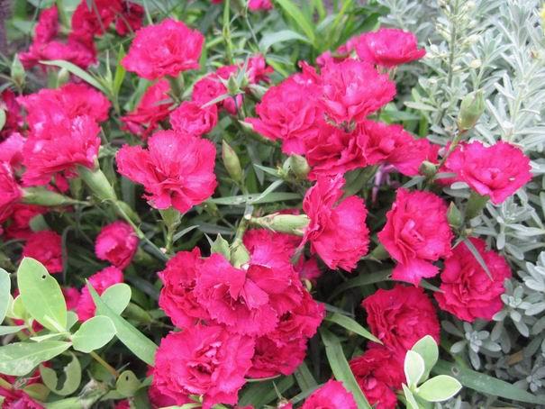 Цветы китайская гвоздика посадка и уход