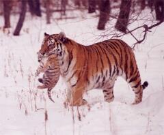Тигрица  переносит малыша в безопасное место