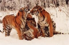 Семья: мама и трое молодых тигров