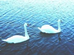 Лебеди (Фото: Ю. Сунгурцев, личный архив)