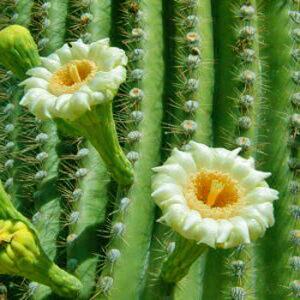 Цветы сагуаро