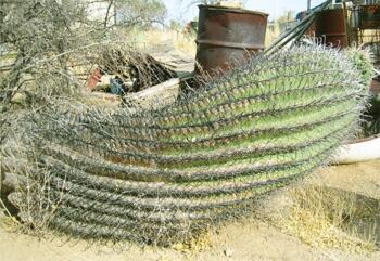 Ферокактус Вислицена растет горизонтально много лет