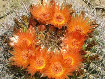 Цветы ферокактуса Вислицена