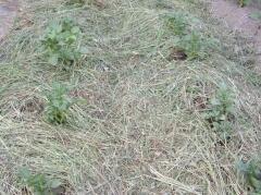 Картофель под мульчей из скошенной травы (Фото: И. Лукьянчик, личный архив)