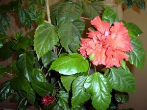 Цветки бывают в диаметре до 10 см (Фото: И. Лукьянчик, личный архив)