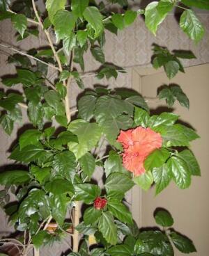 Крону гибискуса периодически украшают великолепные махровые цветы