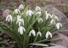 Галантусы зацветают сразу после таяния снега