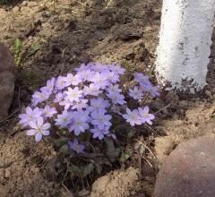 Печеночница - еще один весенний первоцвет