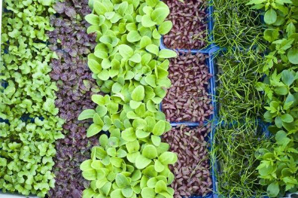 Многие овощеводы делают насыпную подушку из дробленого курака, прошедшего через ворохоочиститель.